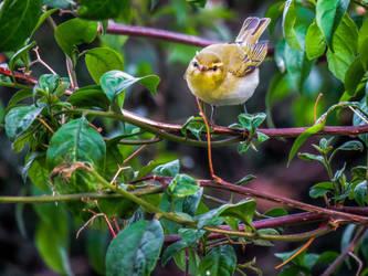Wood warbler by jcolimbo34