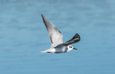 Whiskered tern by jcolimbo34