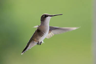 Hummingbird by fragle