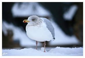 Sea Gull by sllim