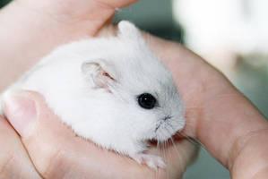my little hamster by IceCreamHabit