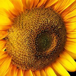 Sunflower by xergic