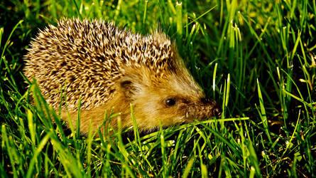 Hedgehog by xergic