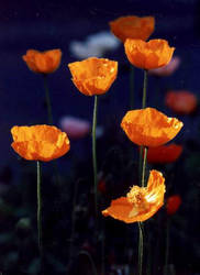 Poppies by latcho