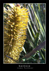 banksia by furto