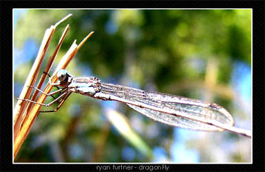 dragonFly by furto
