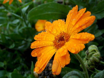 Orange Drops by sirena-pirey