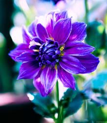 Full Bloom by archanN