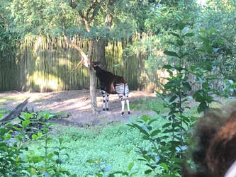 Okapi on Kilimanjaro Safaris by 736berkshire