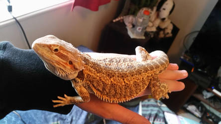 Bearded Dragon (5 month old) by kevmg17