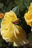 gelbe Rose 03 by Lokipan