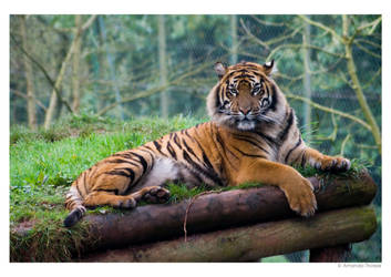 Resting Tiger 1 by wackymanda