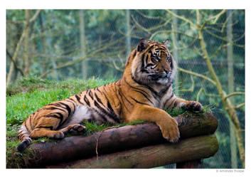 Resting Tiger 2 by wackymanda