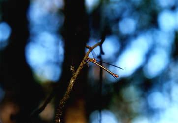 little dragon, fly by diabol