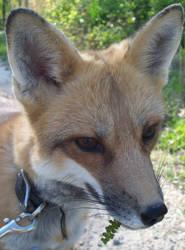 I haz EARS by foxalbiazul