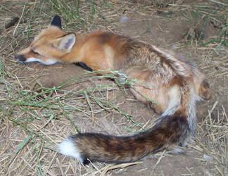 Tail regeneration by foxalbiazul