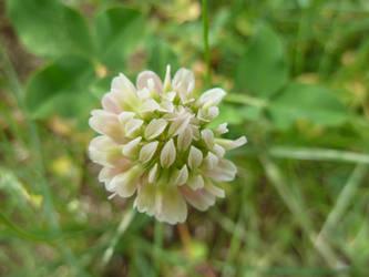 Clover Blossom by gusdefrog