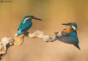 Kingfisher games by BogdanBoev