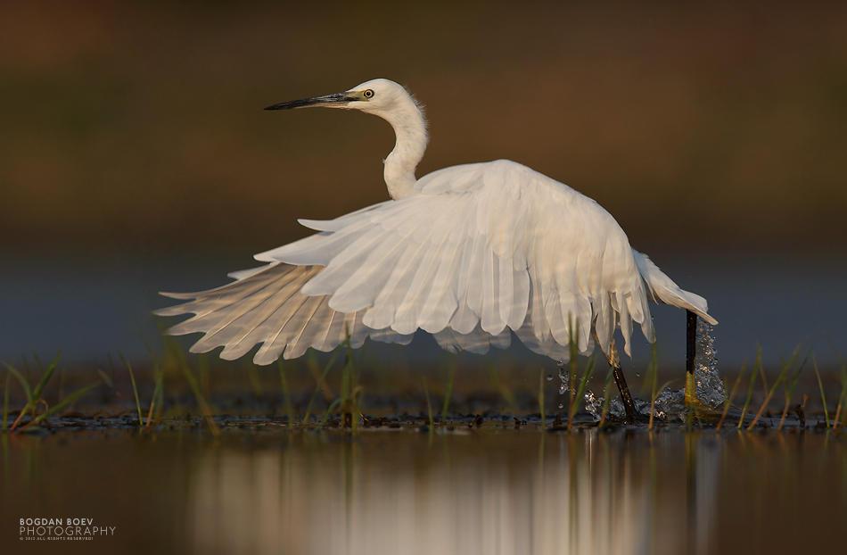 White Egret by BogdanBoev