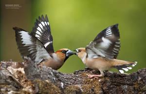 Angry birds by BogdanBoev