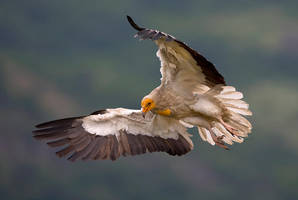 Egyptian vulture by BogdanBoev