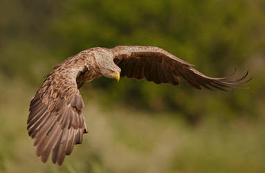 White-tailed eagle by BogdanBoev
