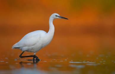 Little egret by BogdanBoev