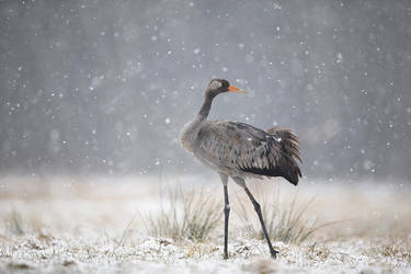Common crane by BogdanBoev