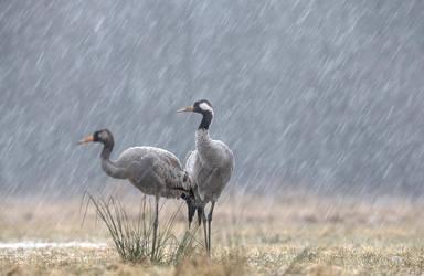 Common cranes by BogdanBoev