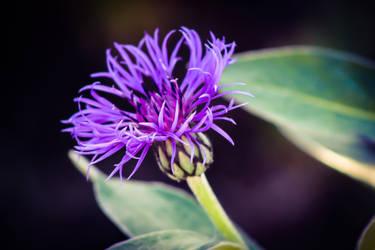 Pretty Purple by bulldogstoy