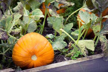 Pumpkin Patch by bulldogstoy