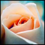 rose I by Horitsu