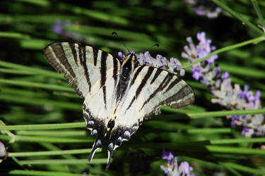 Butterfly by Springbank