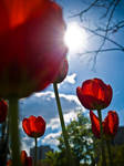 tulips by phoelixde
