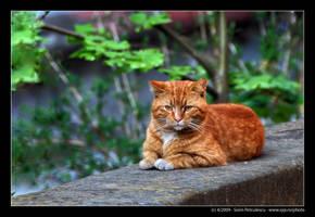 Orange Cat by sypfoto