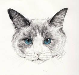 Ragdoll Cat by avaunt
