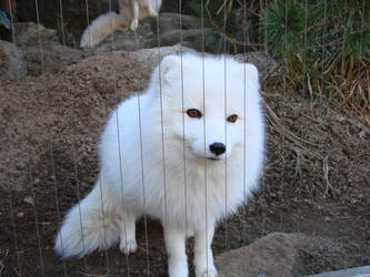 Arctic Fox by wannabechelsey