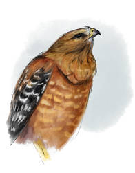 Hawk by RamonaForever