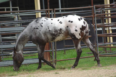 Horse_Stock0071 by BlueBird-Stock