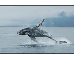 Jumpin' humpback close up by rotyoung