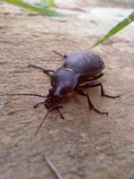 Oil-beetle by szundisziszi