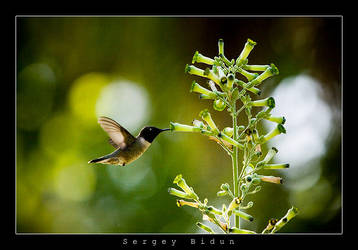 Humming Bird... by sergey1984