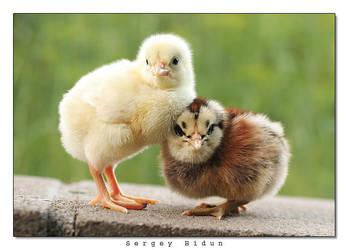 Little Chicks by sergey1984