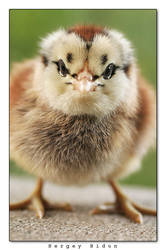 Little Chick by sergey1984