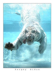 White Tiger 2. by sergey1984