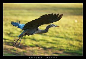 Great Heron by sergey1984