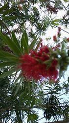 Red Flower! by HeyouPikachu123