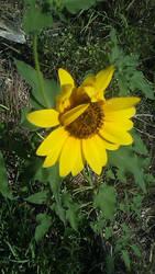 Sunflower by HeyouPikachu123