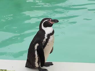 Penguin ready for a splash! by BonnieBannanas101