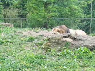 Simba hiding by BonnieBannanas101